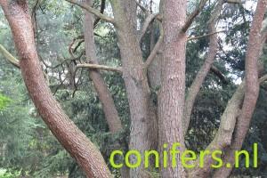 Grove den De Dennenhorst, Lunteren - DSC_0078.jpg Inventarisatie conifers.nl