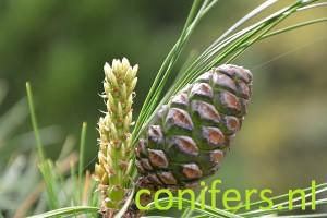 Pinus armandii - De Dennenhorst Lunteren DSC_1315 conifers.nl